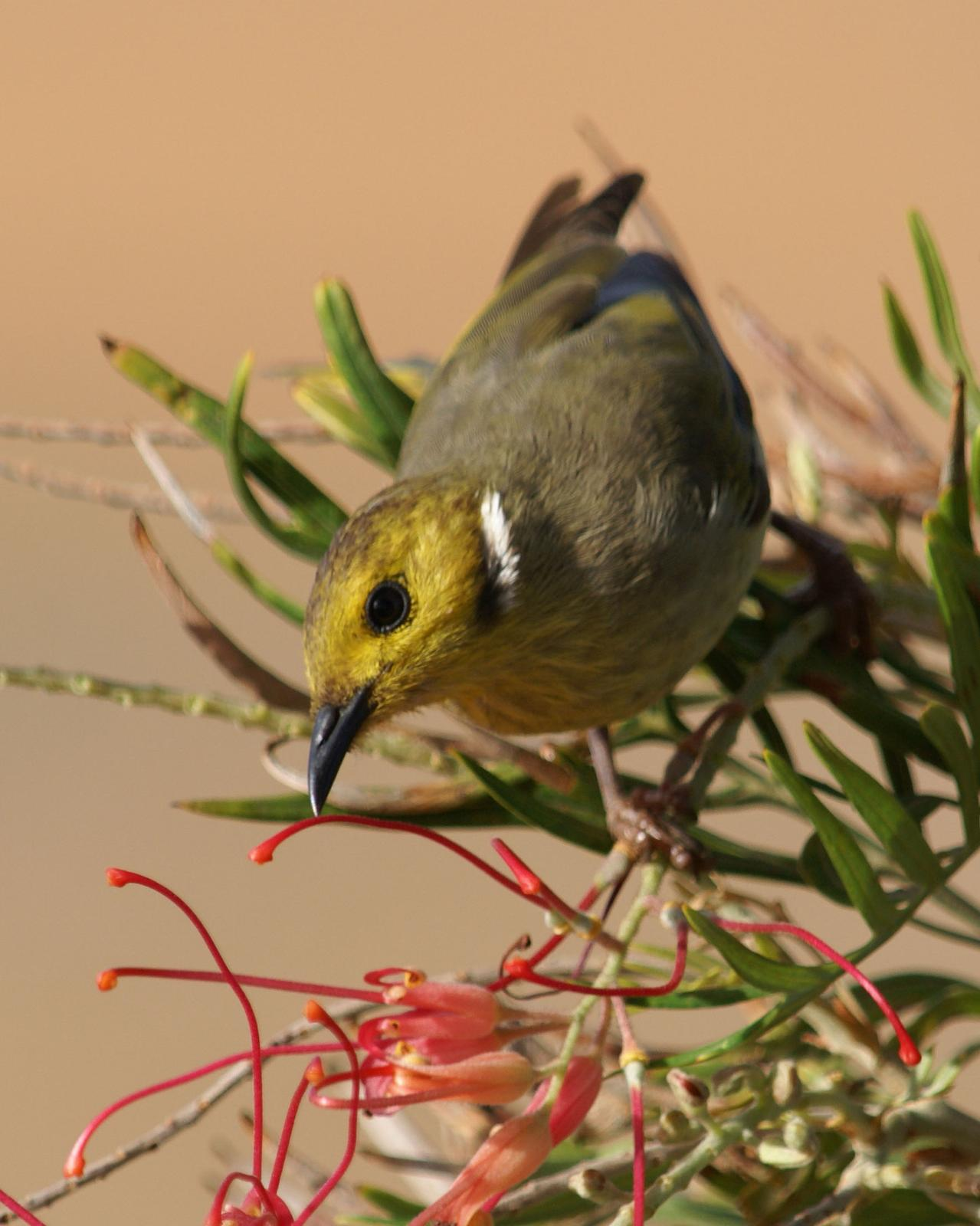 White-plumed Honeyeater Photo by Steve Percival