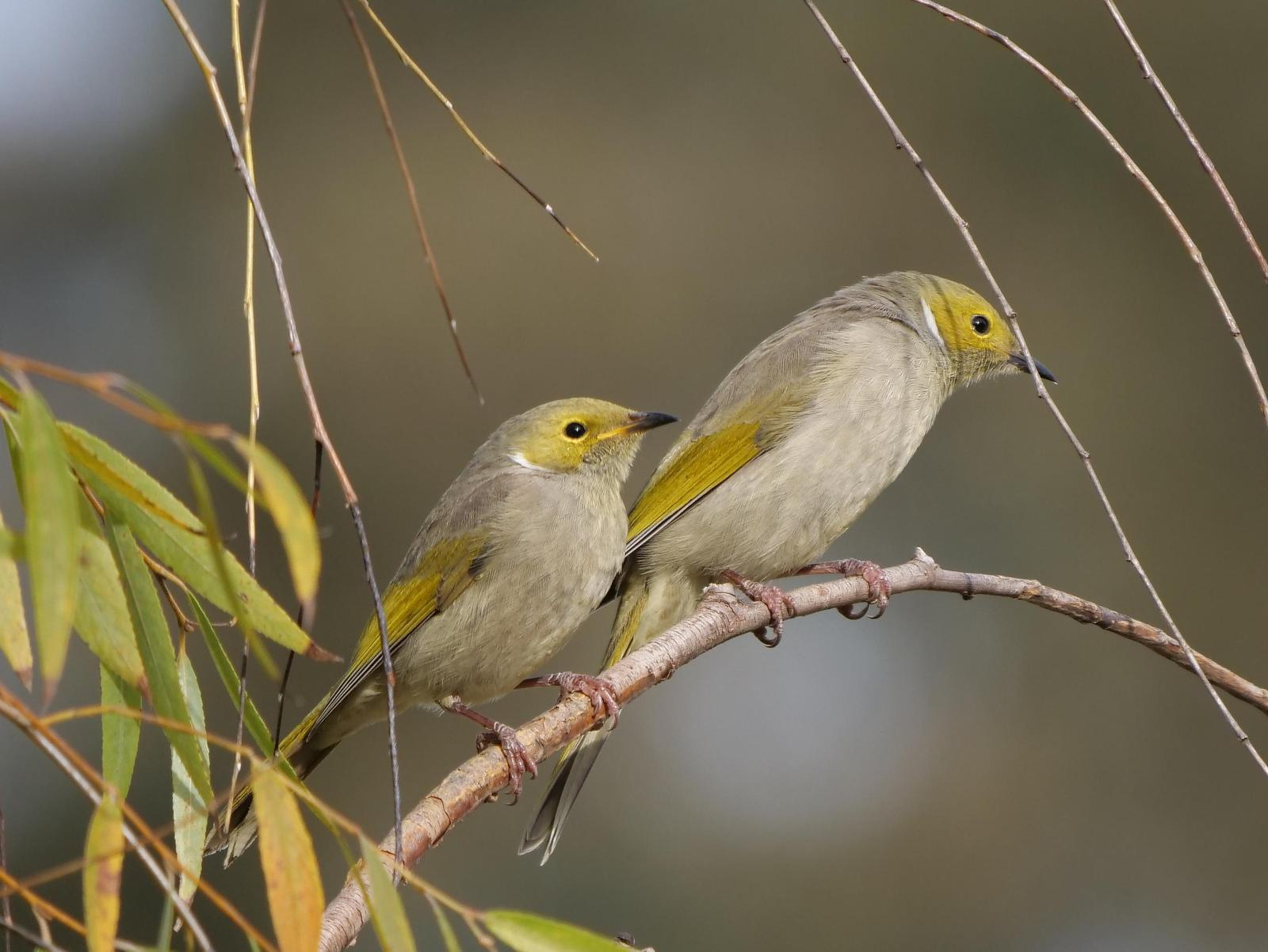 White-plumed Honeyeater Photo by Peter Lowe
