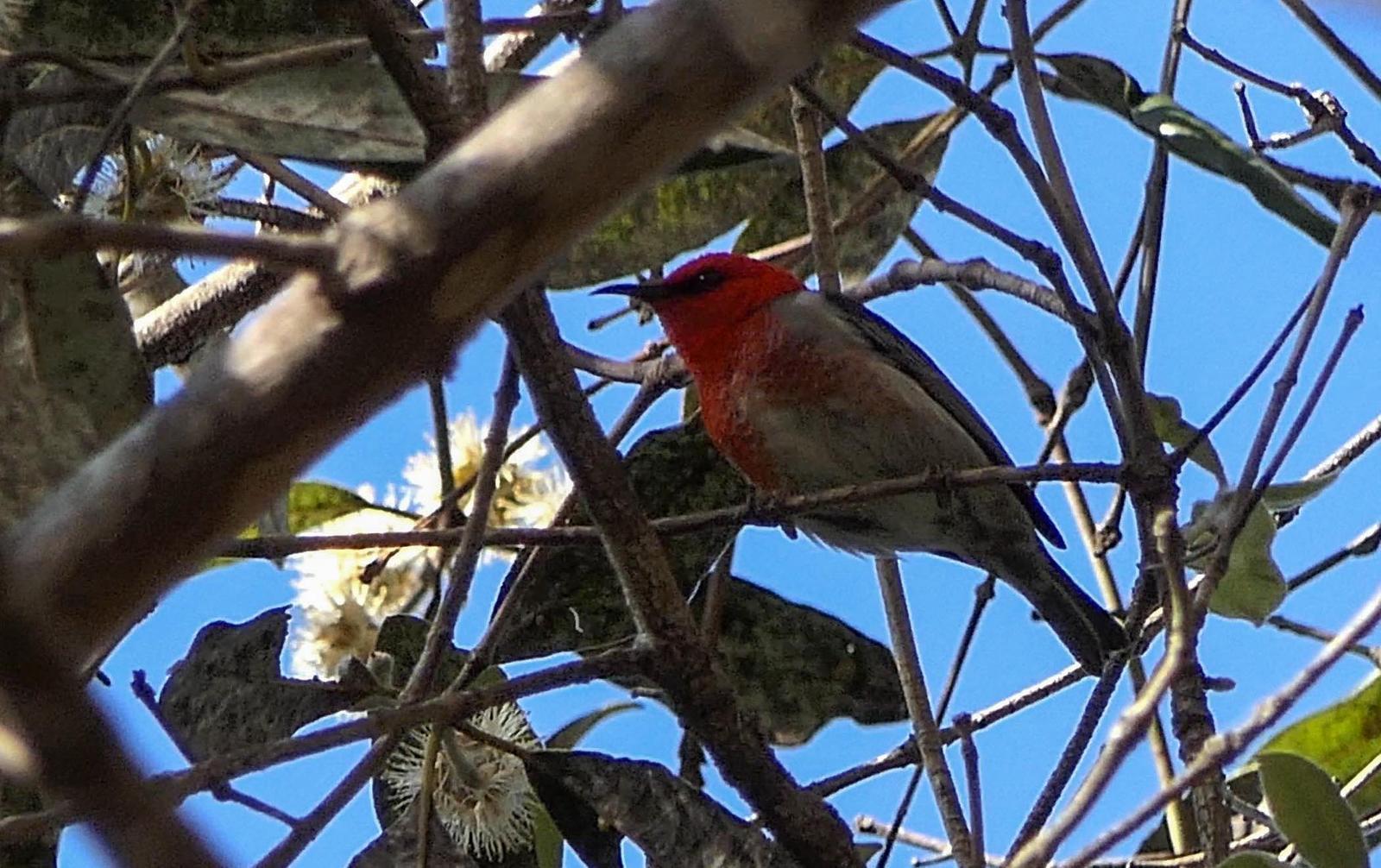 Scarlet Myzomela Photo by Randy Siebert