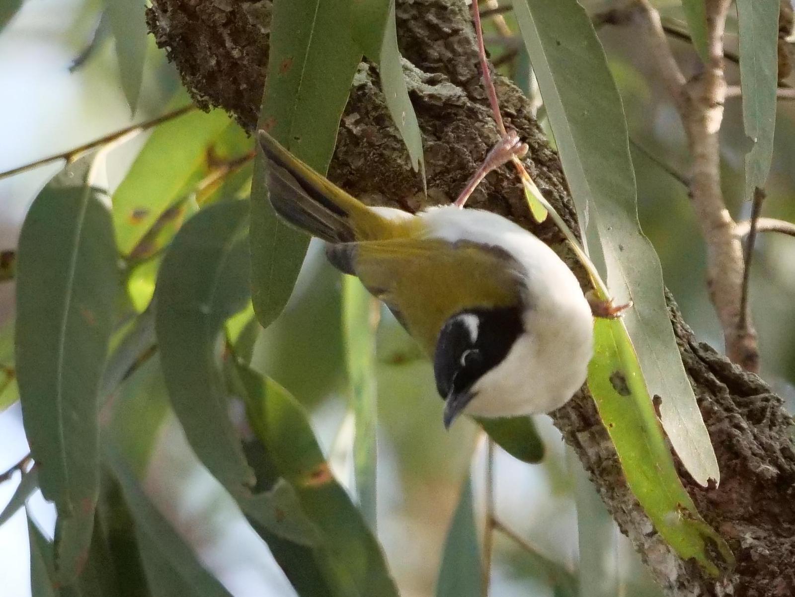 White-throated Honeyeater Photo by Peter Lowe