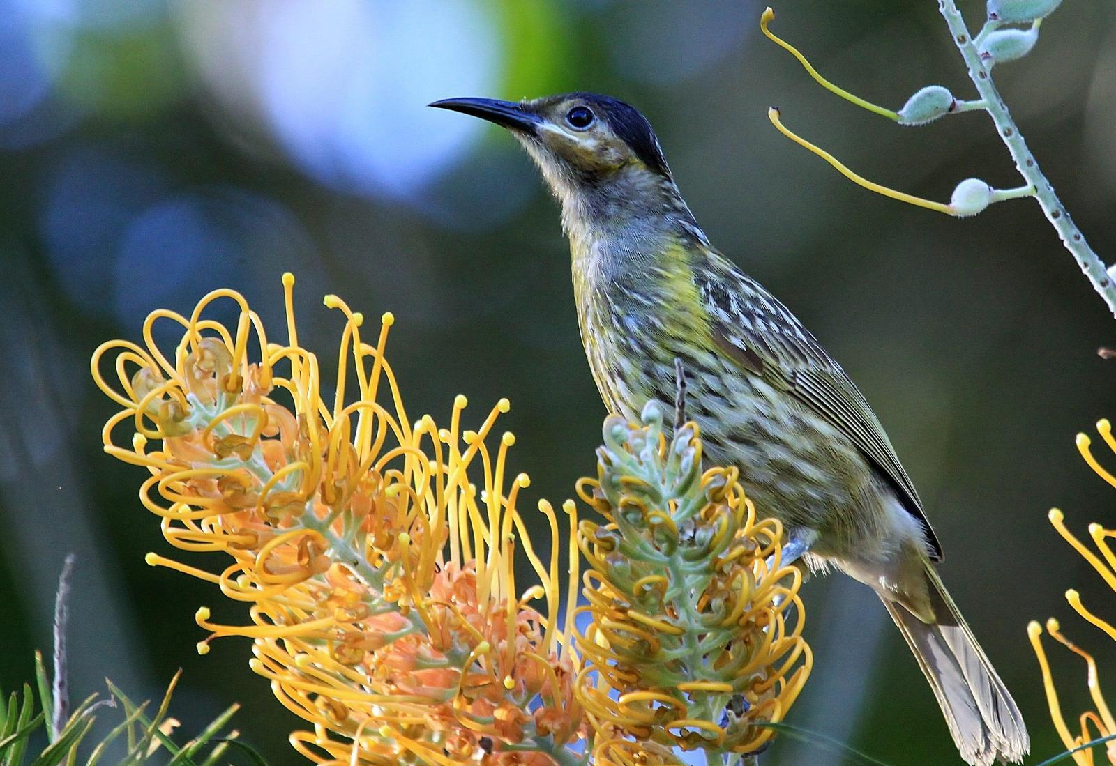 Macleay's Honeyeater Photo by Matthew McCluskey