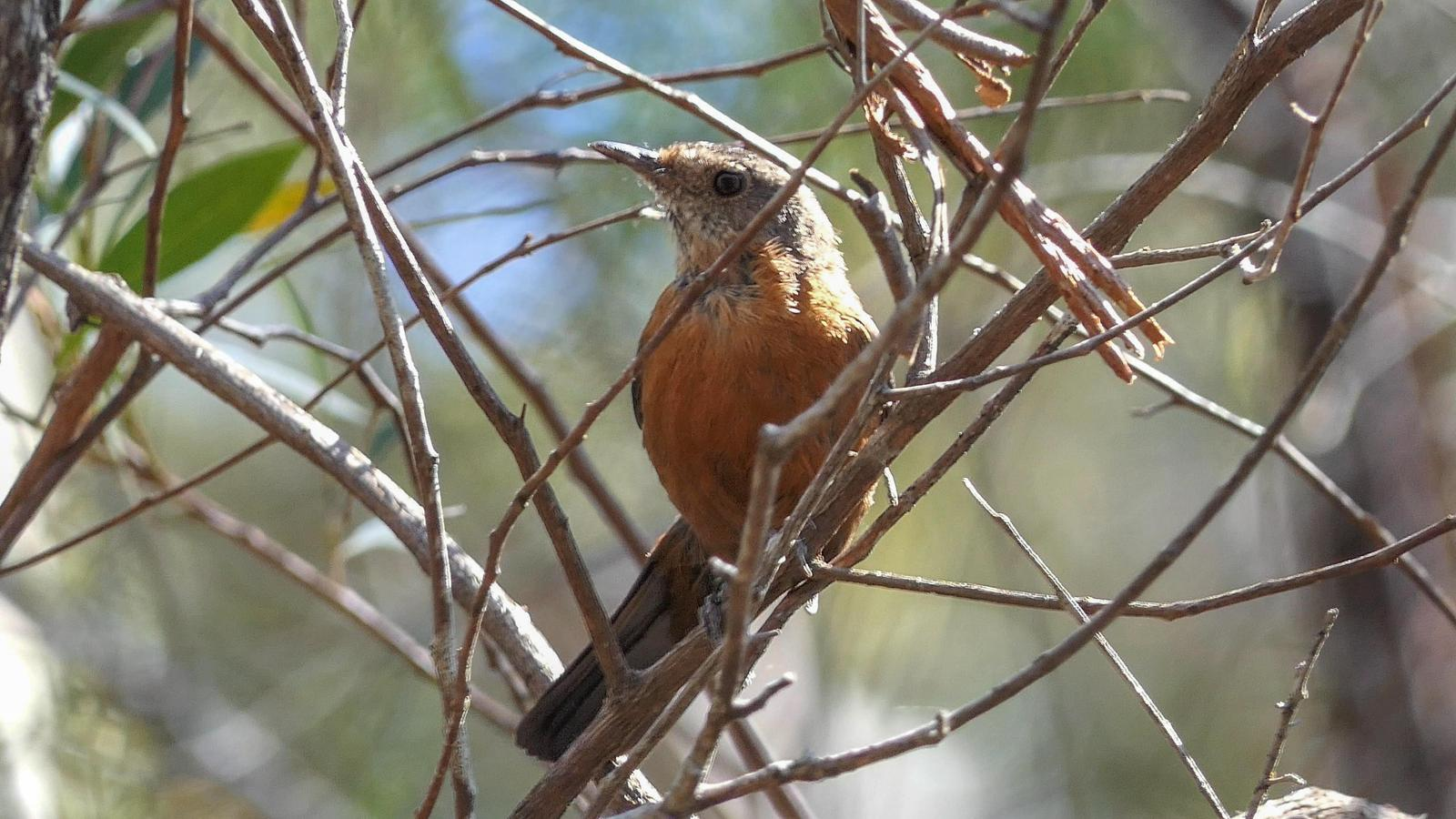 Rockwarbler Photo by Randy Siebert