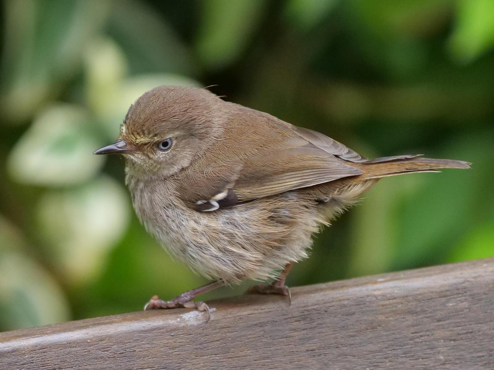 White-browed Scrubwren Photo by Peter Lowe