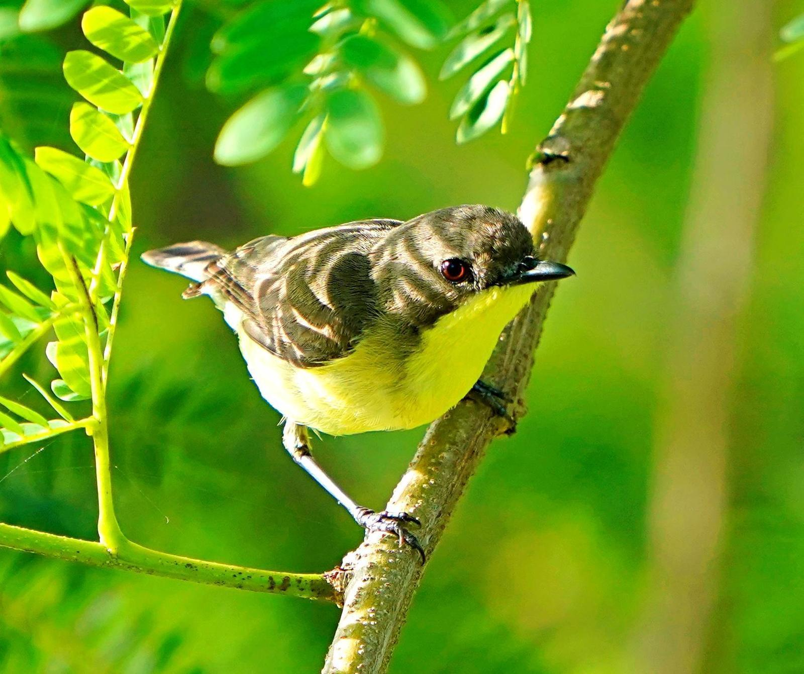 Golden-bellied Gerygone Photo by Steven Cheong