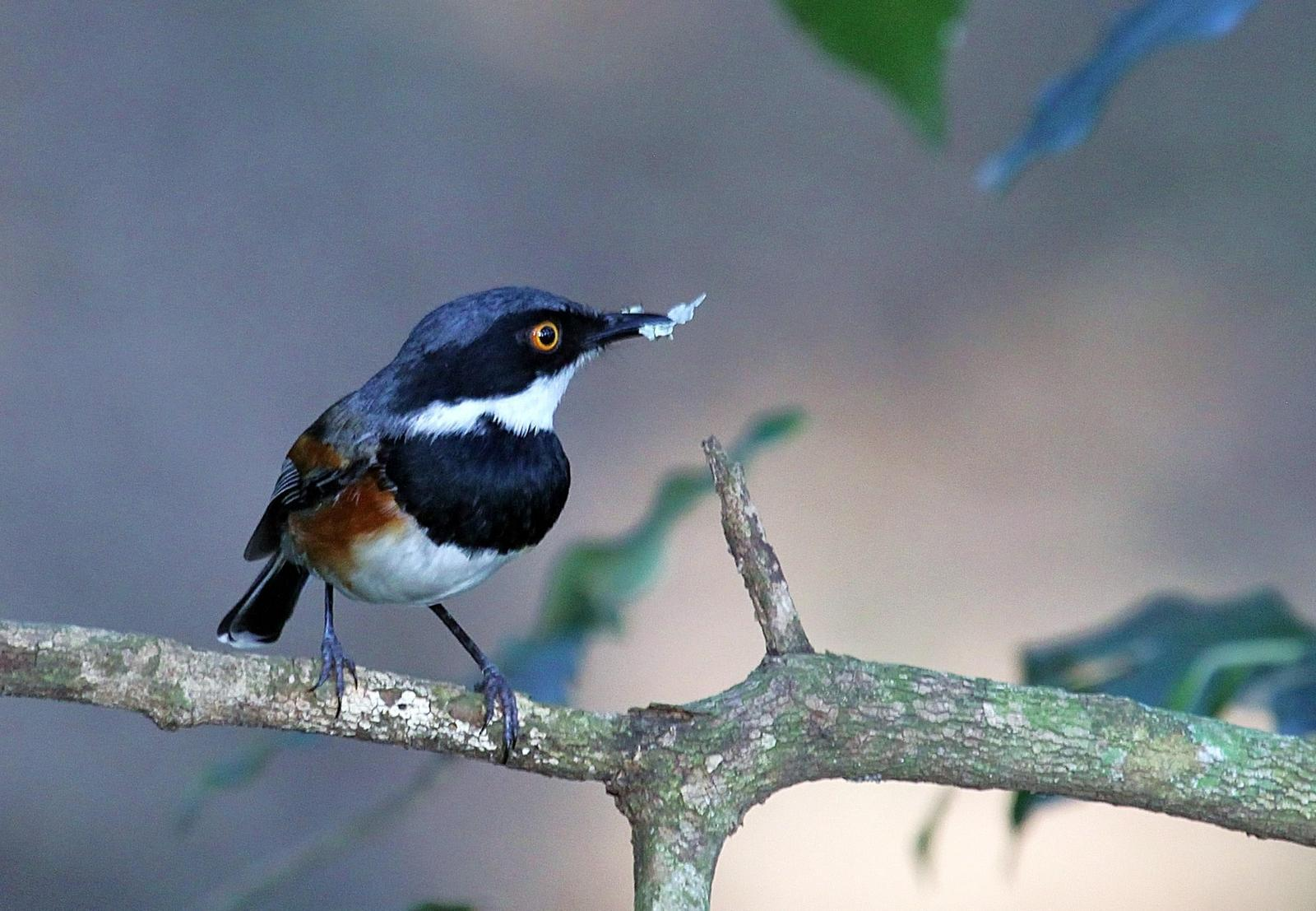 Cape Batis Photo by Matthew McCluskey