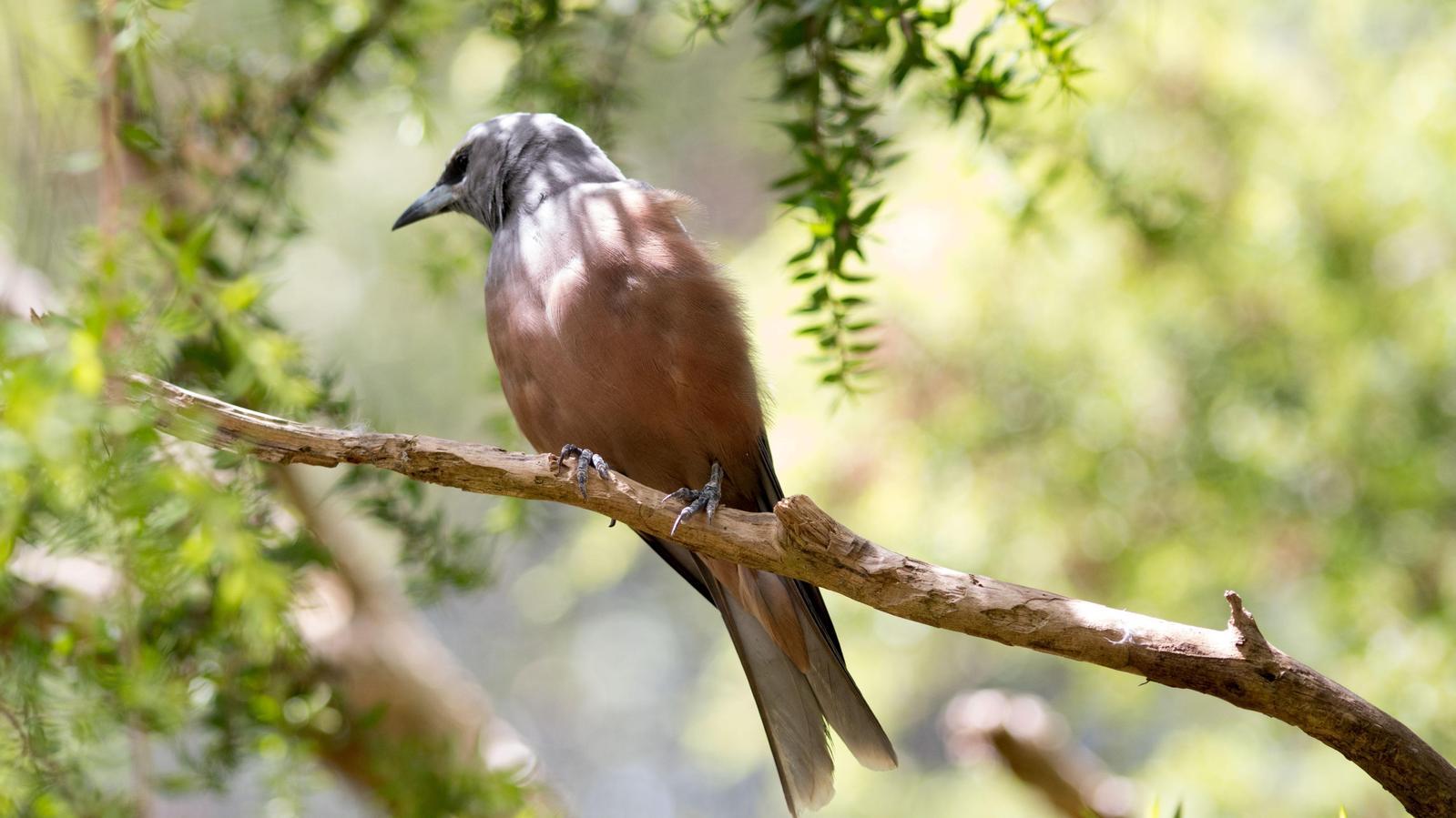 Dusky Woodswallow Photo by Richard Lund