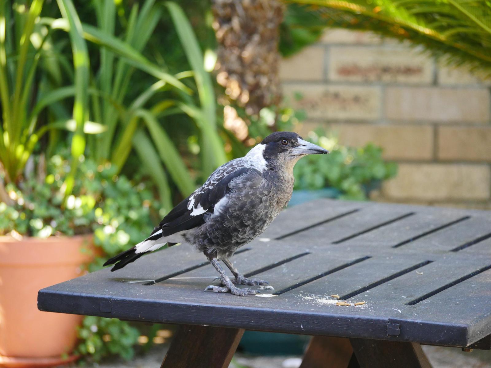 Australian Magpie (Western) Photo by Peter Lowe