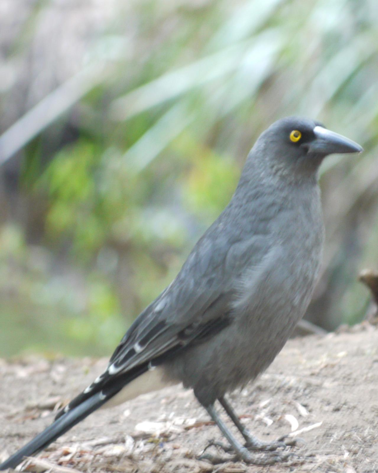 Gray Currawong Photo by Peter Lowe