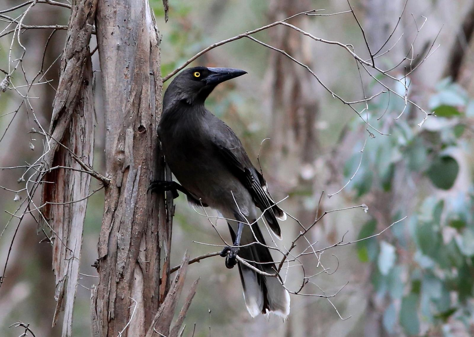 Gray Currawong Photo by Rohan van Twest