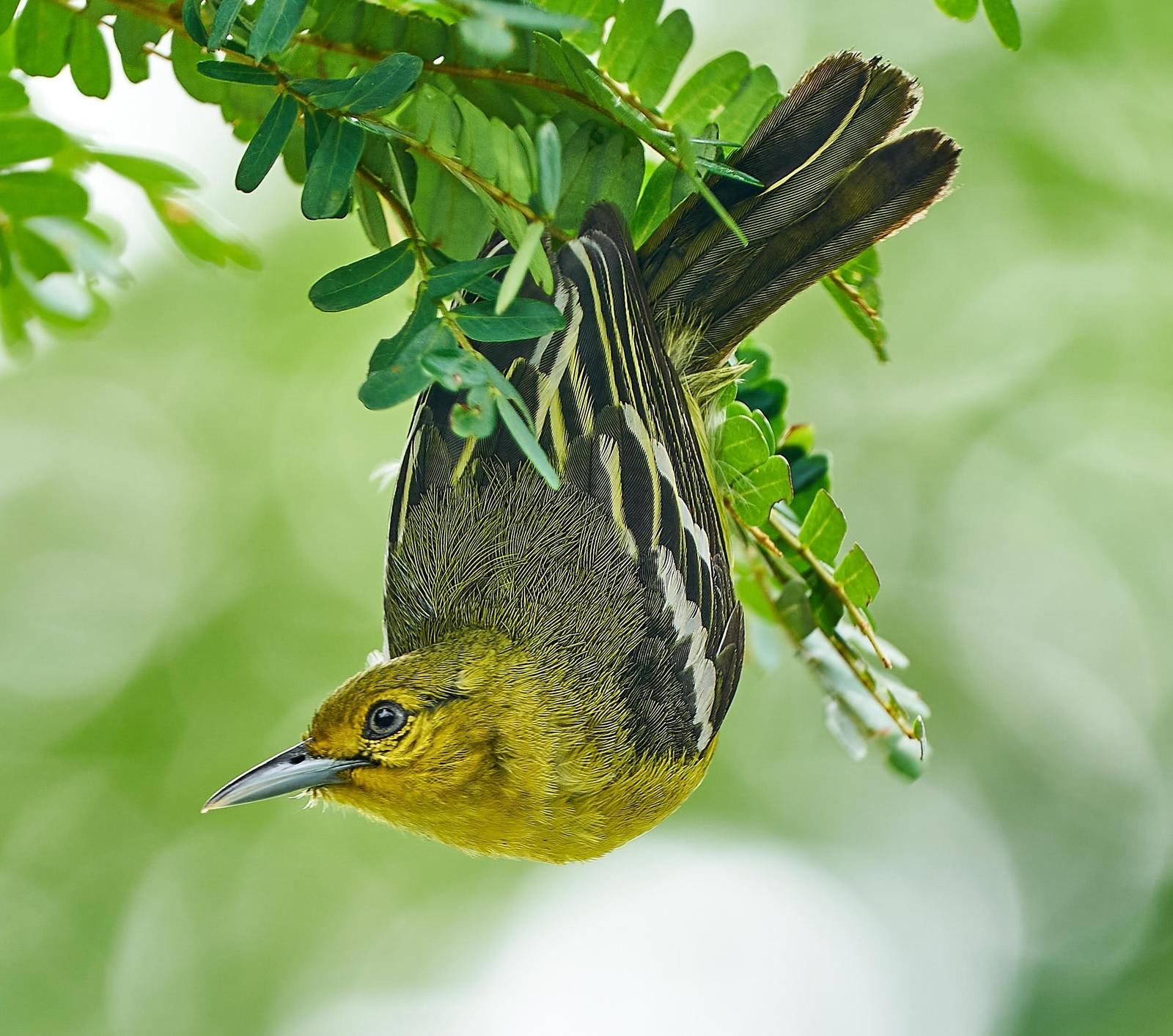 Common Iora Photo by Steven Cheong