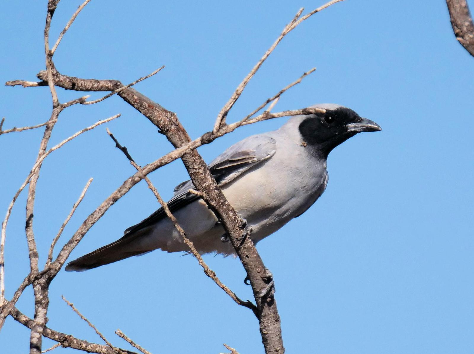 Black-faced Cuckooshrike Photo by Peter Lowe