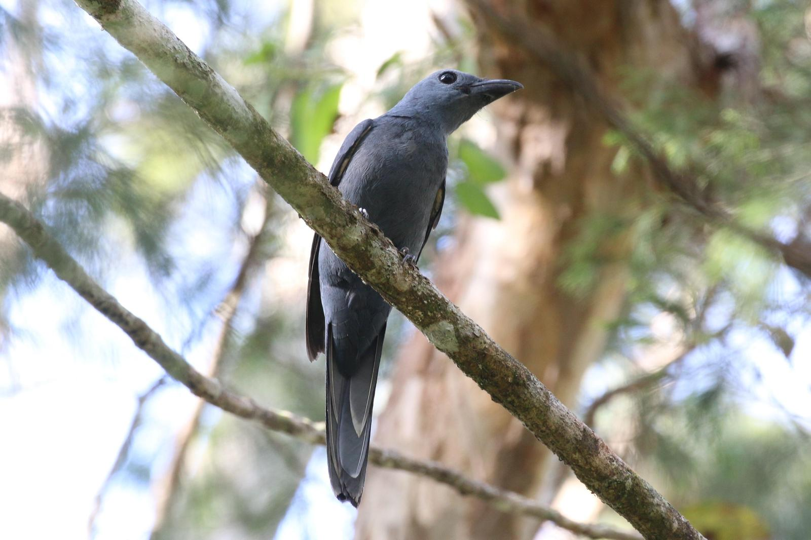 Stout-billed Cuckooshrike Photo by Richard Jeffers