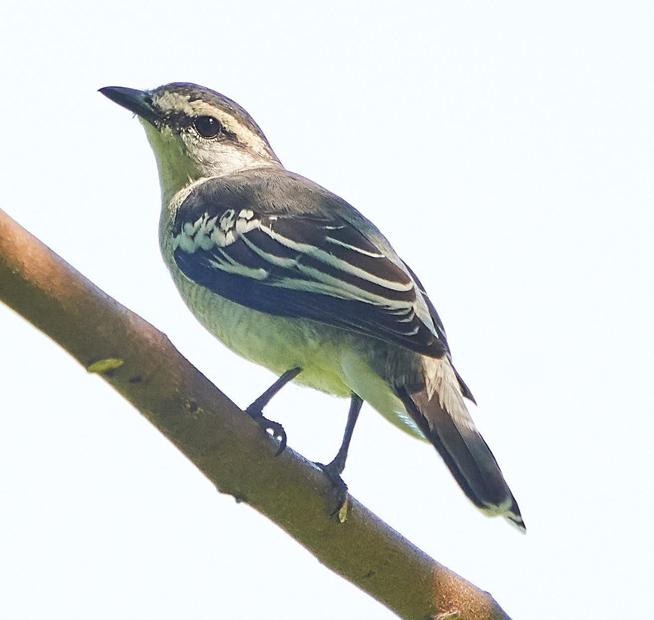 Pied Triller Photo by Steven Cheong