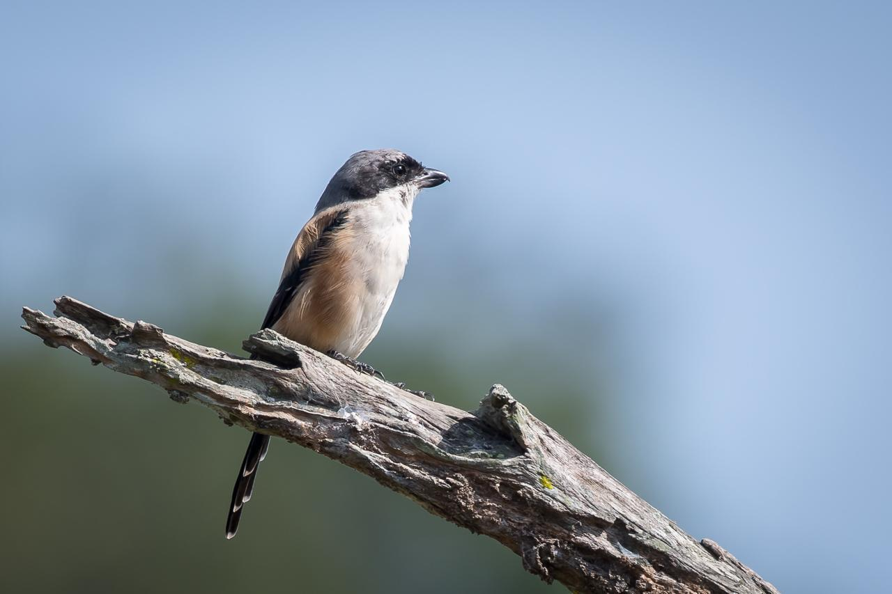 Long-tailed Shrike Photo by Kishore Bhargava