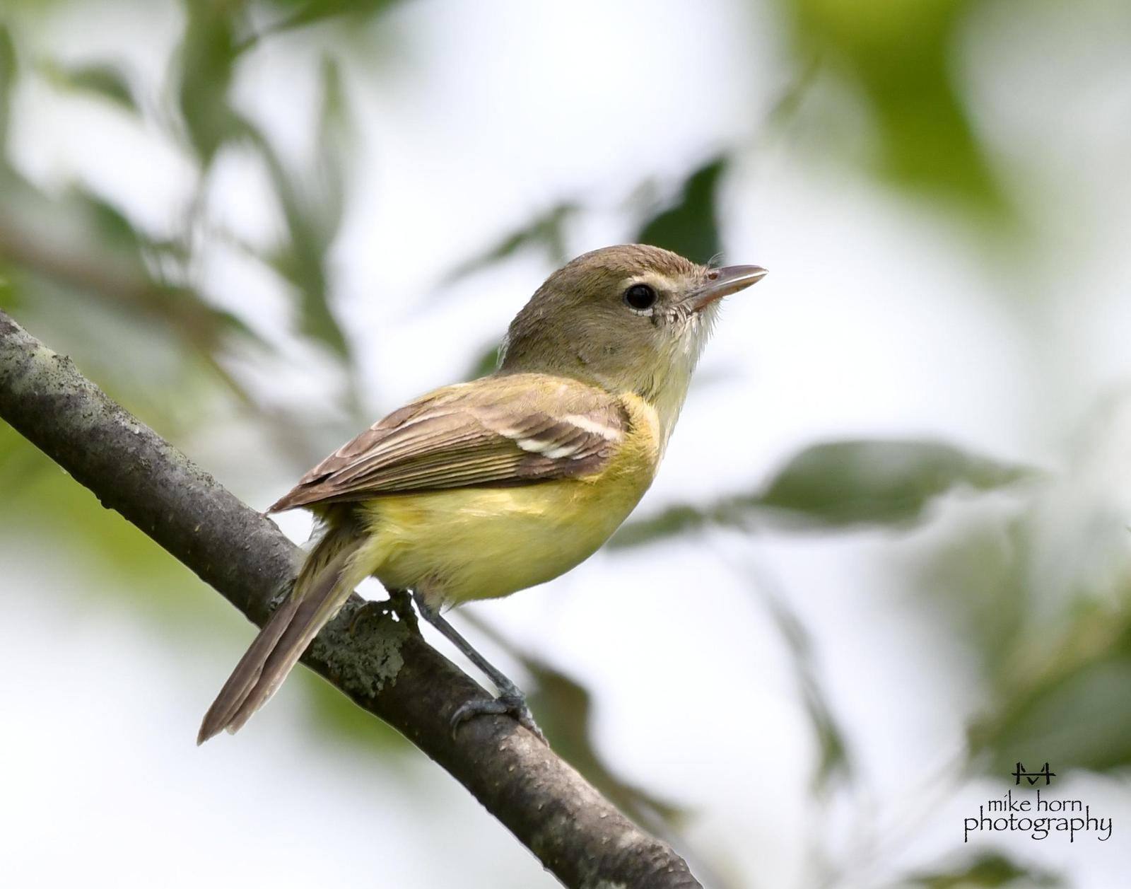 Bell's Vireo Photo by Michael Horn