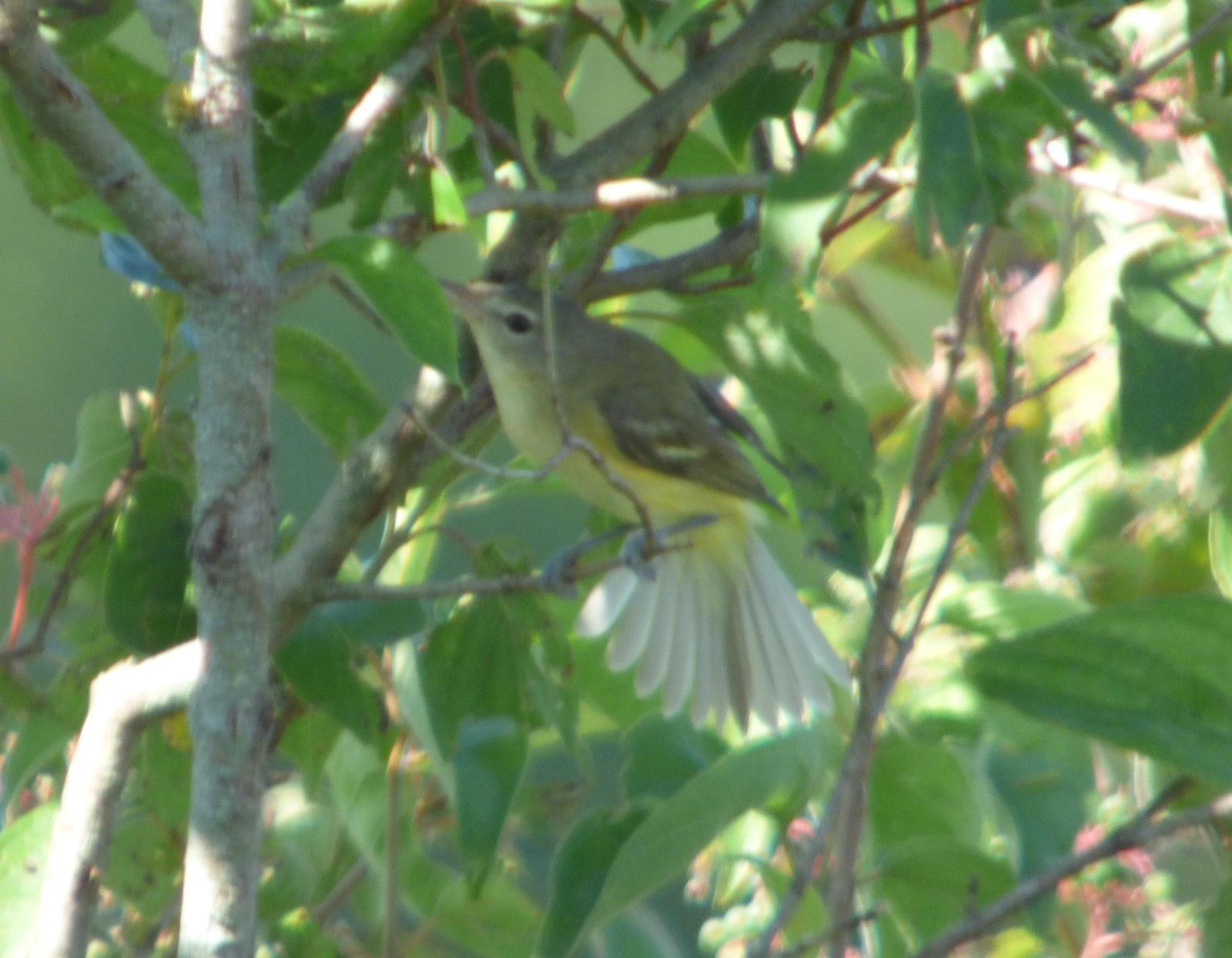 Bell's Vireo Photo by Phil Ryan