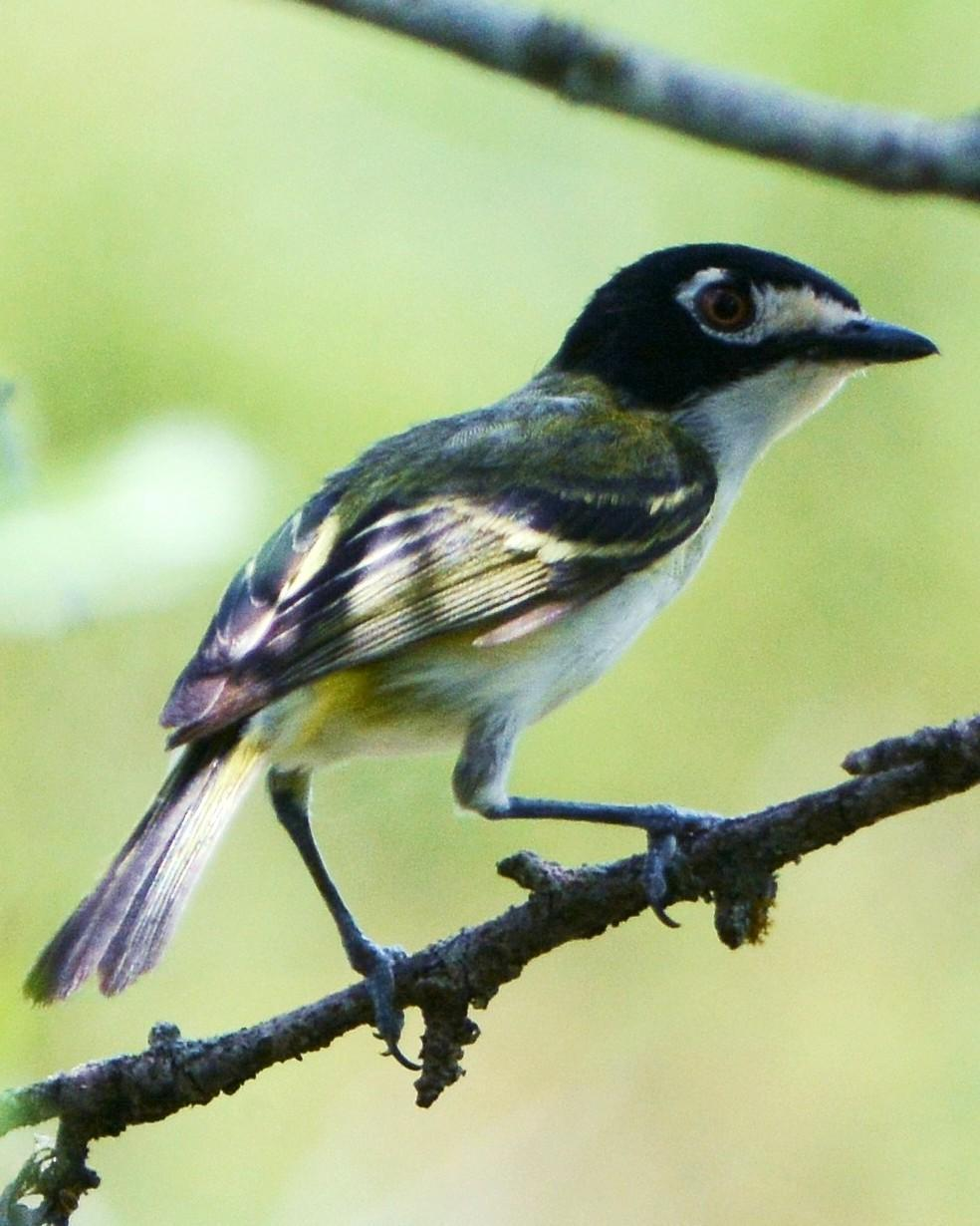 Black-capped Vireo Photo by David Hollie