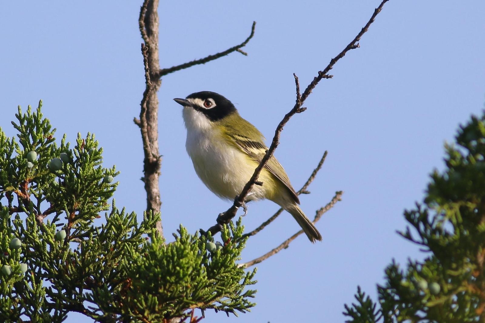Black-capped Vireo Photo by Tom Ford-Hutchinson