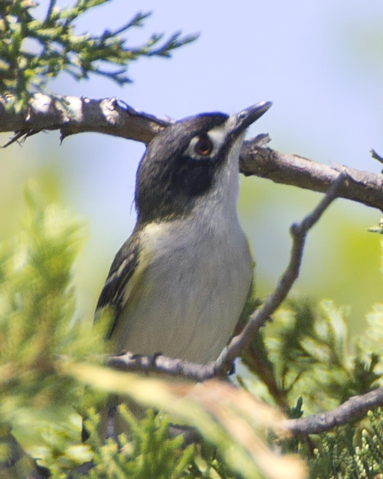 Black-capped Vireo Photo by Bill Adams