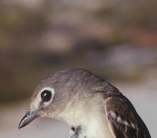Cassin's Vireo Photo by Dan Tallman