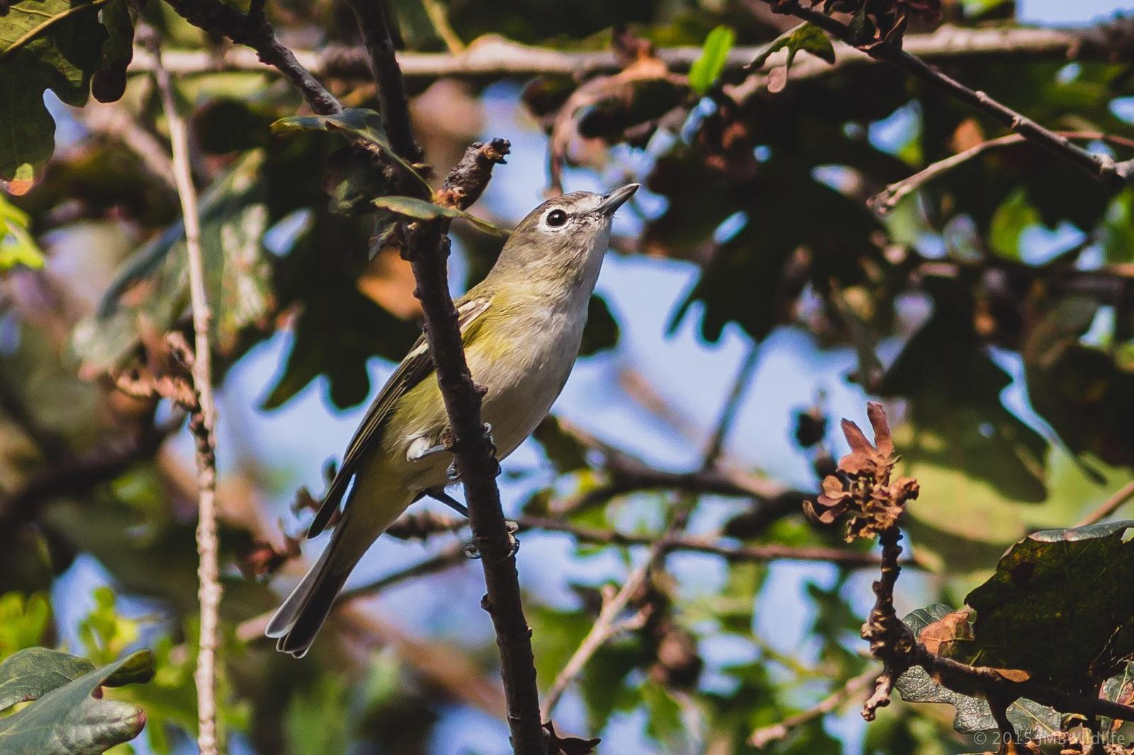Cassin's Vireo Photo by Jeff Bray