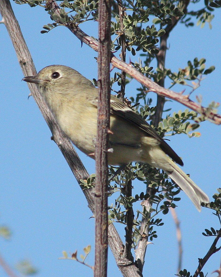 Hutton's Vireo Photo by Andrew Core