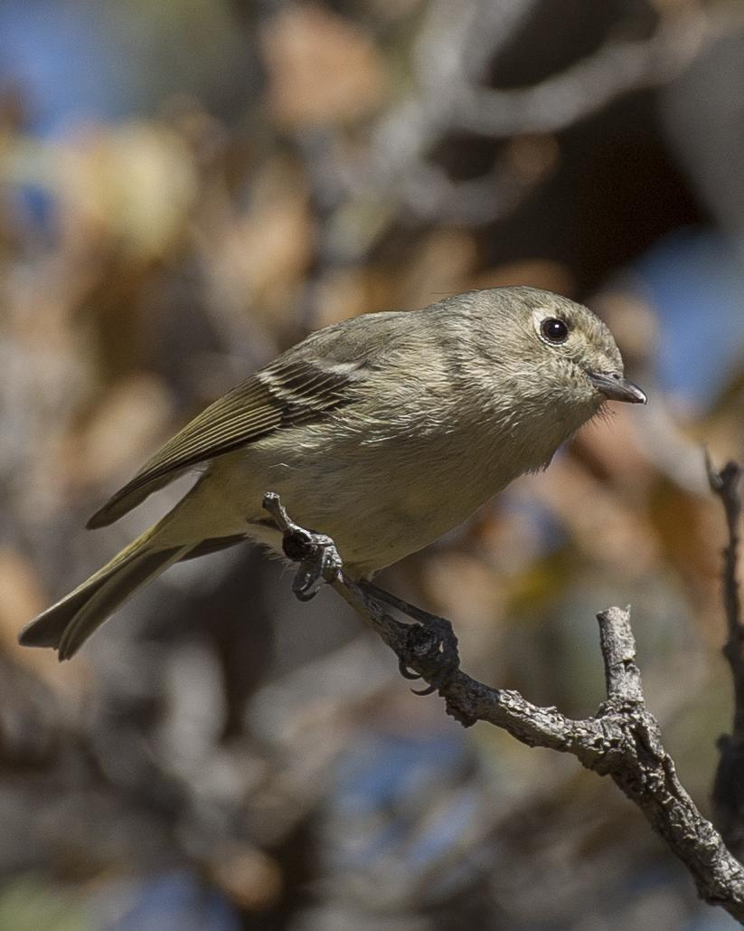 Hutton's Vireo Photo by Jeff Moore