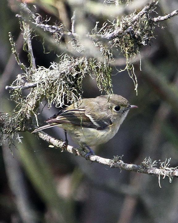 Hutton's Vireo Photo by Ron Storey