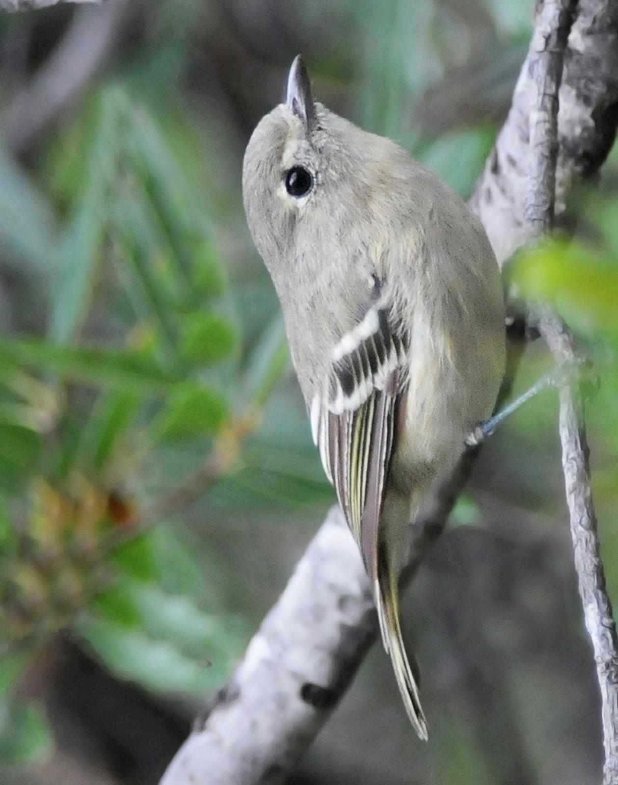 Hutton's Vireo Photo by Steven Mlodinow
