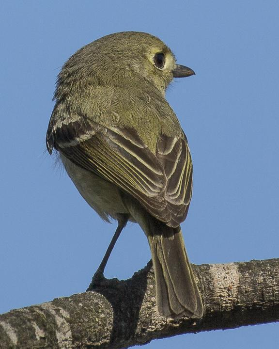 Hutton's Vireo Photo by Anthony Gliozzo