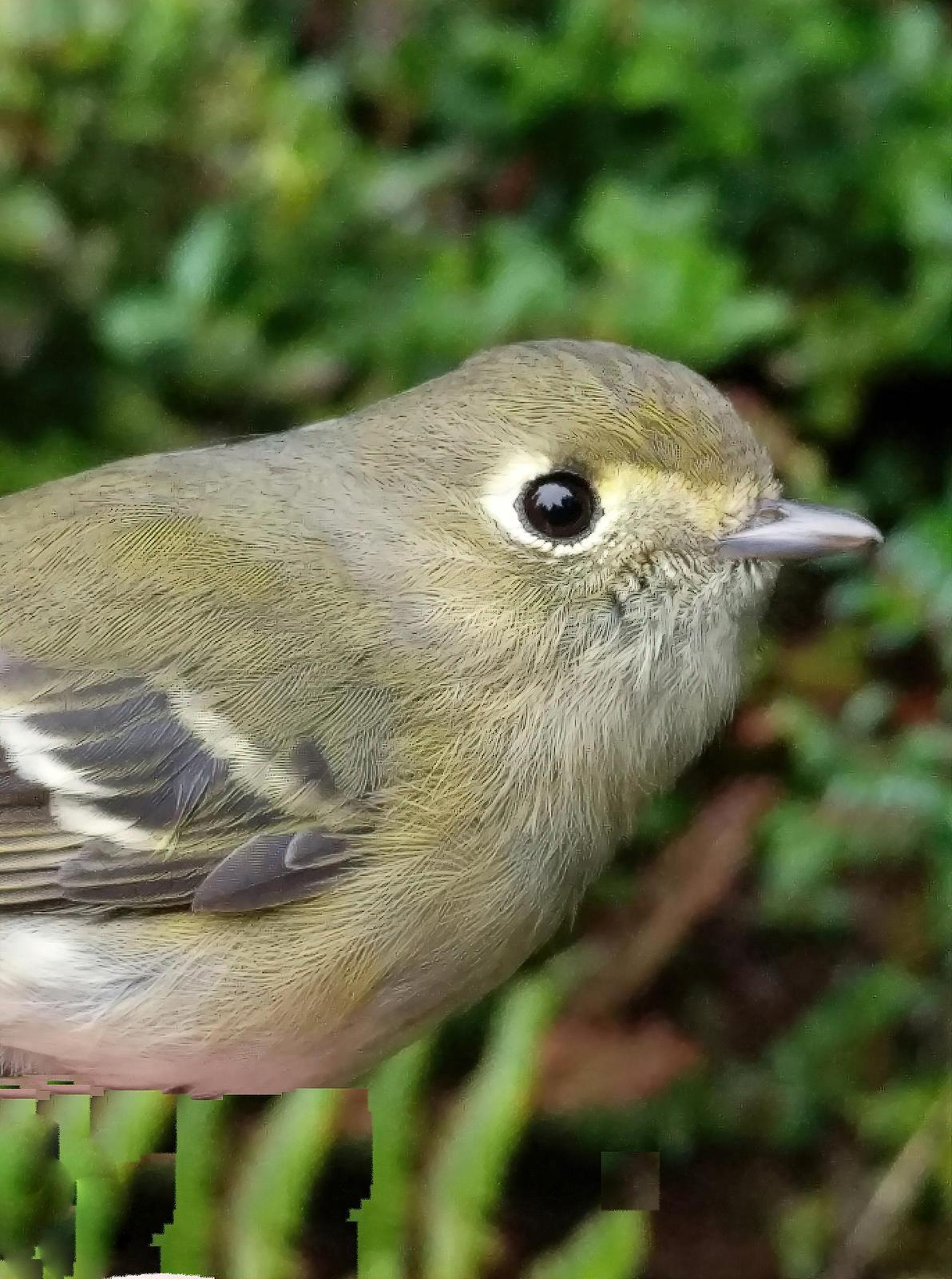 Hutton's Vireo (Pacific) Photo by Dan Tallman