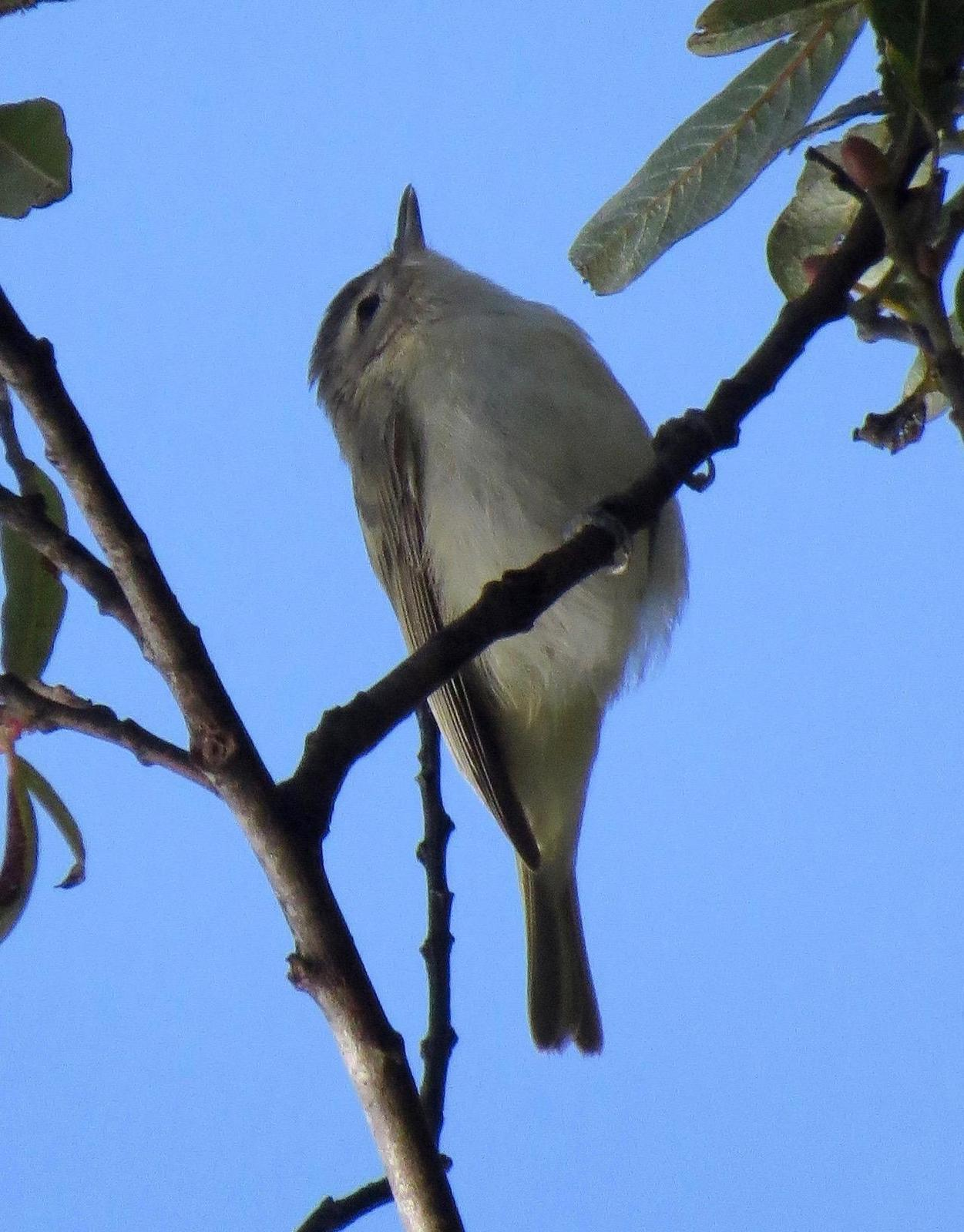 Warbling Vireo (Western) Photo by Don Glasco