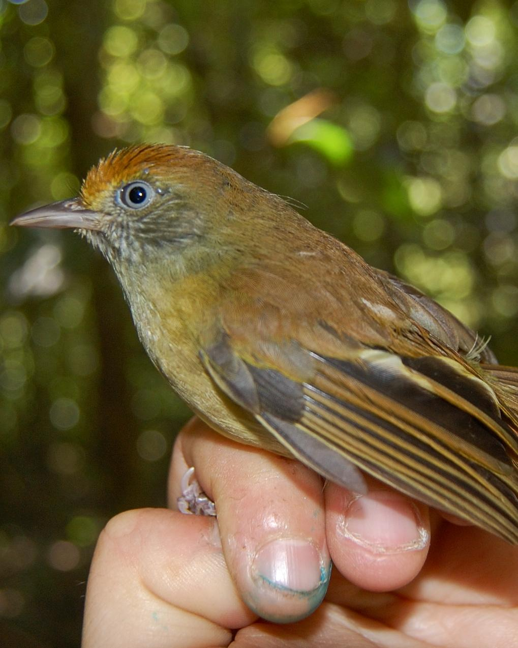 Tawny-crowned Greenlet Photo by Leslie E. Tucci