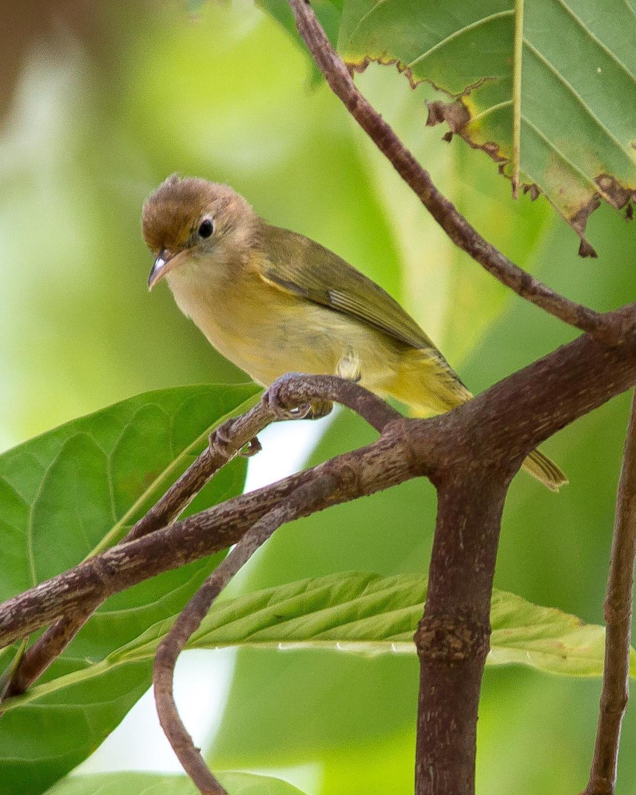 Golden-fronted Greenlet Photo by Marie-France Rivard