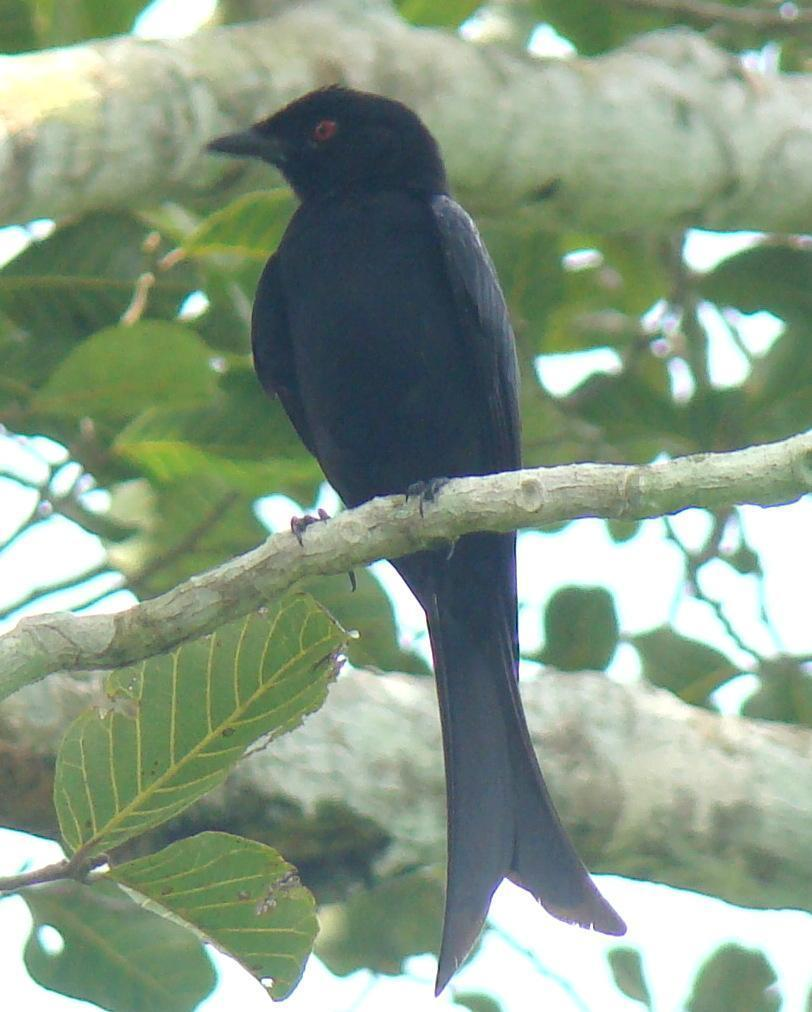Velvet-mantled Drongo Photo by Todd A. Watkins