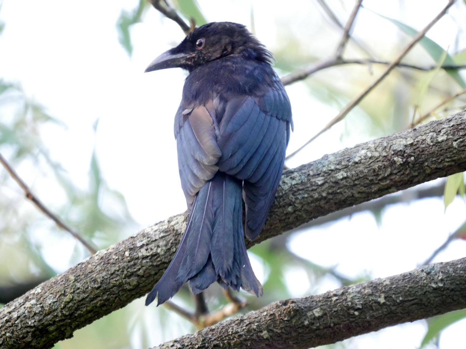 Spangled Drongo Photo by Peter Lowe