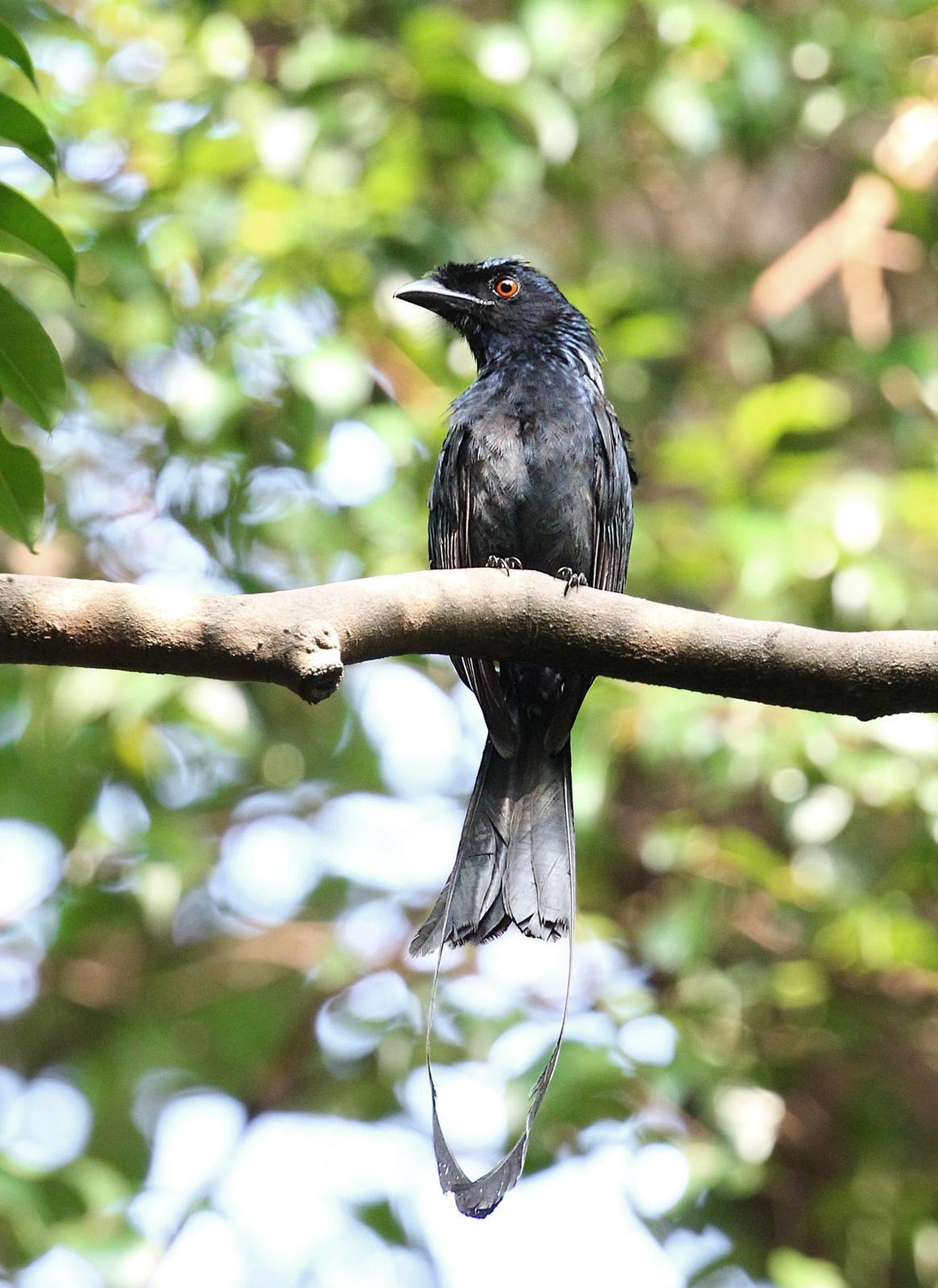 Greater Racket-tailed Drongo Photo by Kenneth Cheong