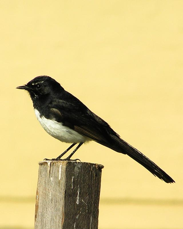 Willie-wagtail Photo by Natalie Raeber