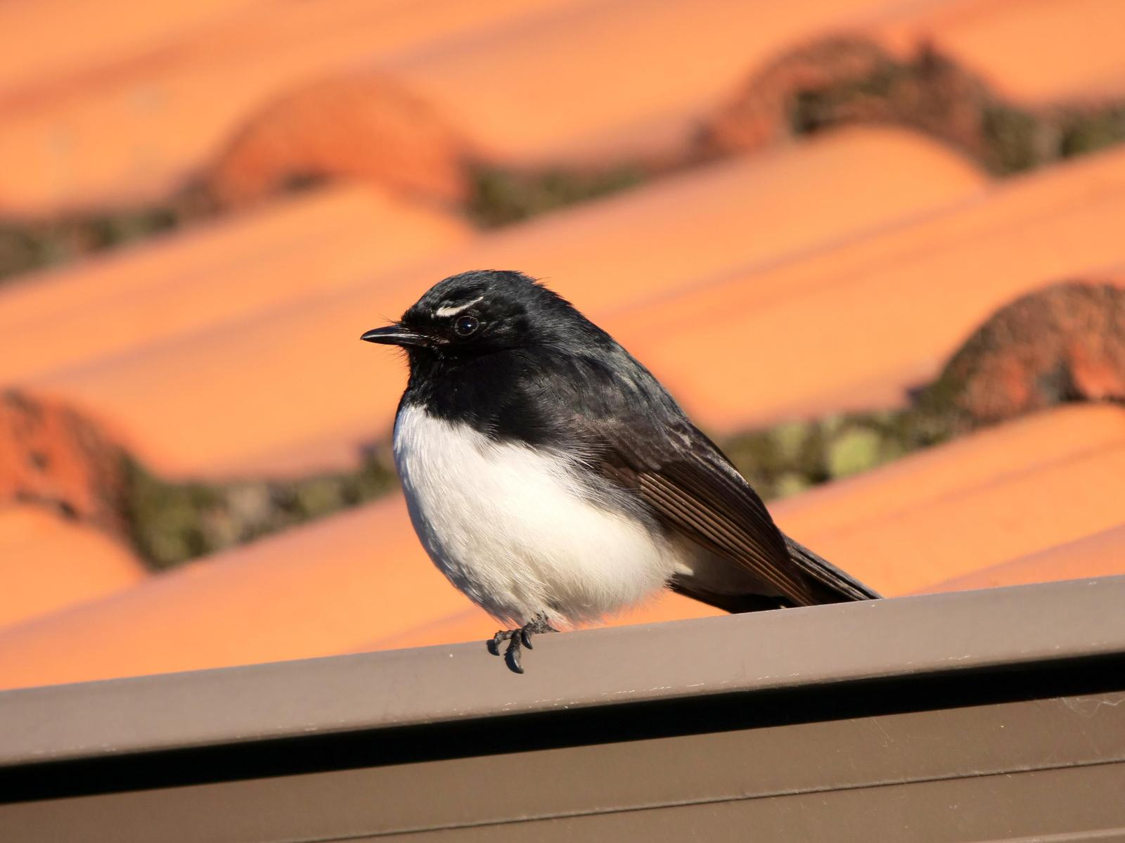 Willie-wagtail Photo by Peter Lowe