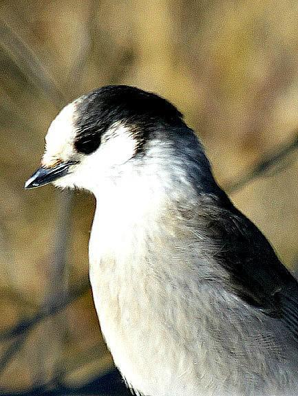 Canada Jay (Northern) Photo by Dan Tallman