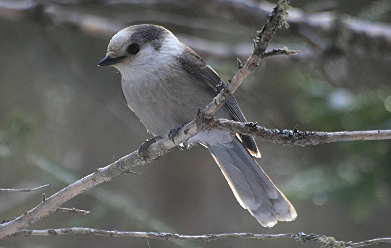 Canada Jay (Northern) Photo by Aaron Hywarren