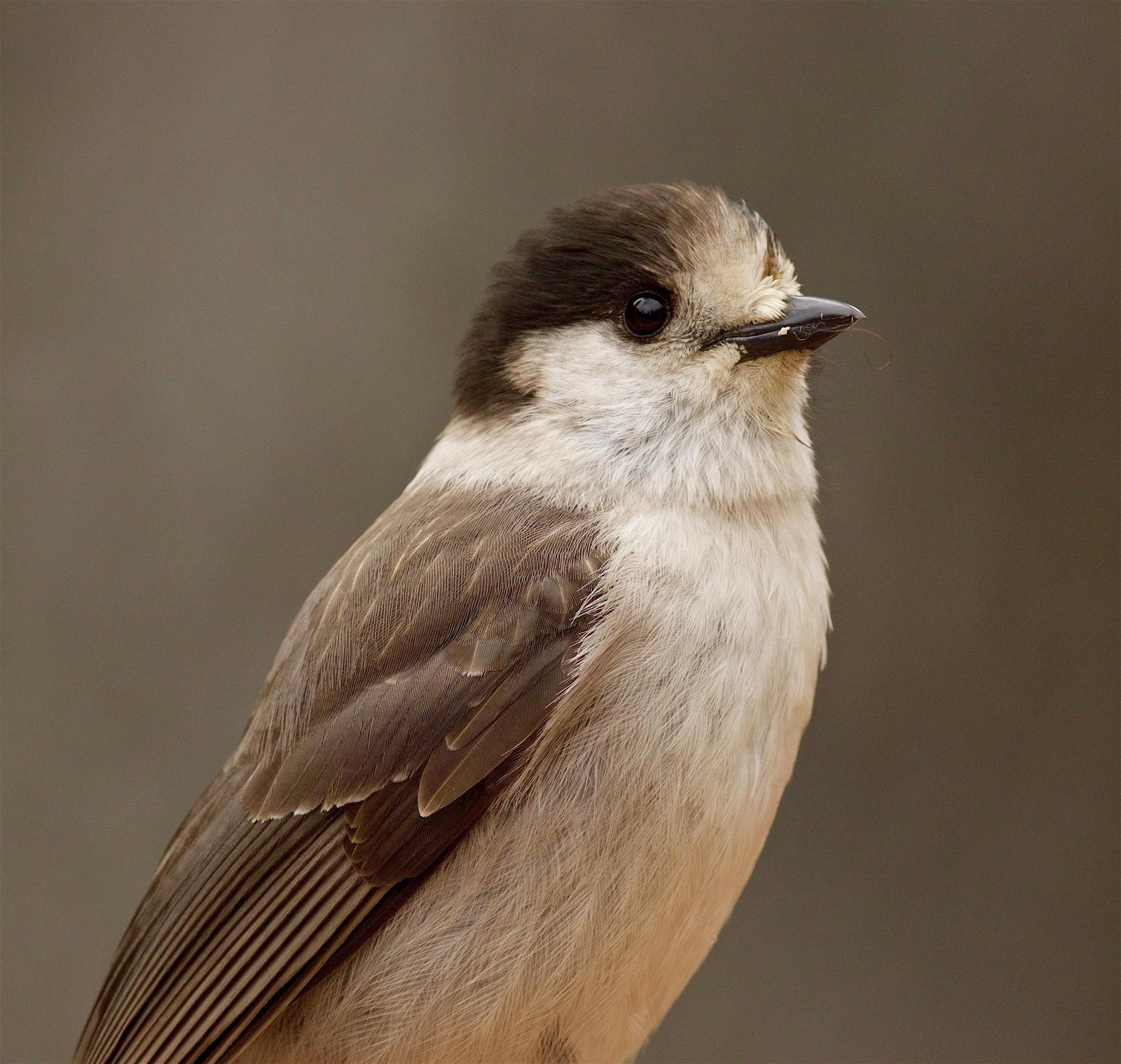 Canada Jay (Pacific) Photo by Kathryn Keith