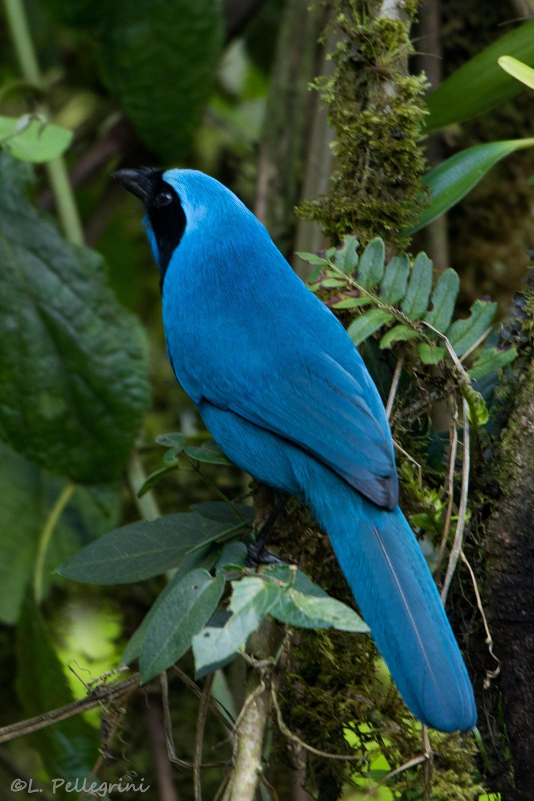 Turquoise Jay Photo by Laurence Pellegrini