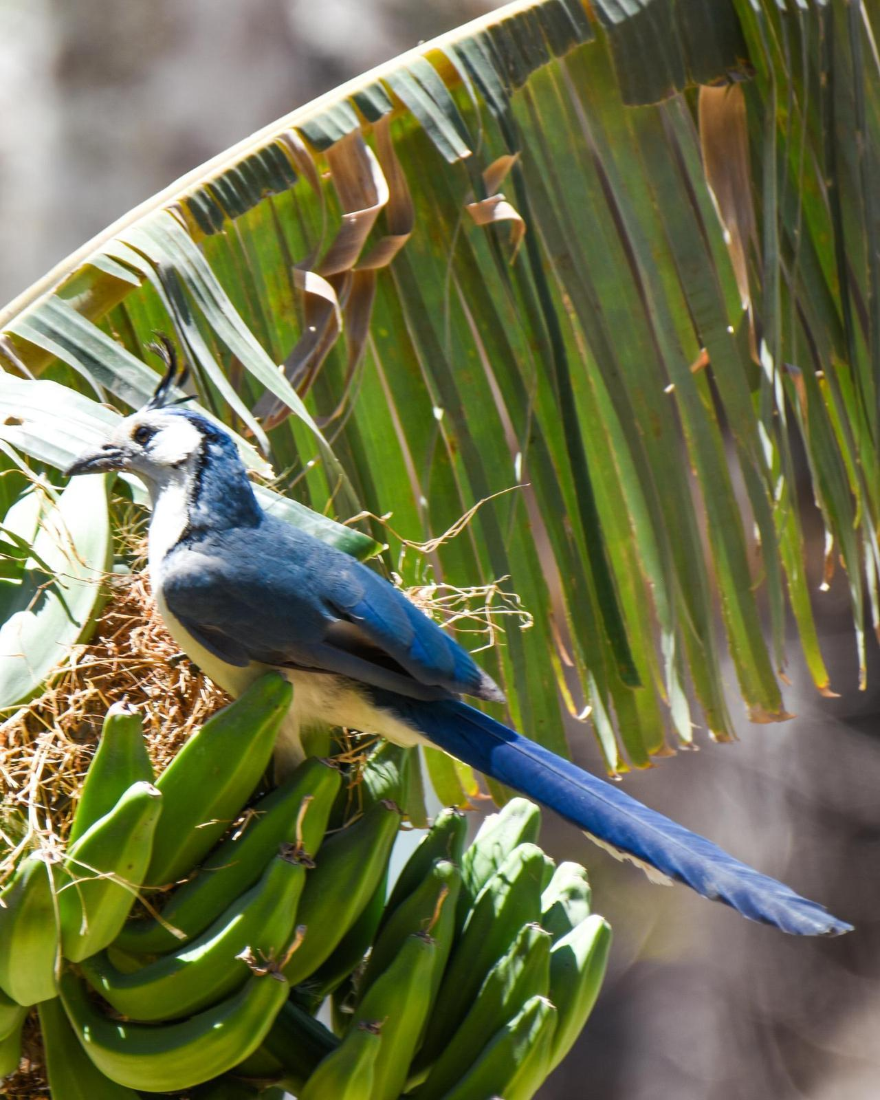 White-throated Magpie-Jay Photo by Cherylyn Murphy