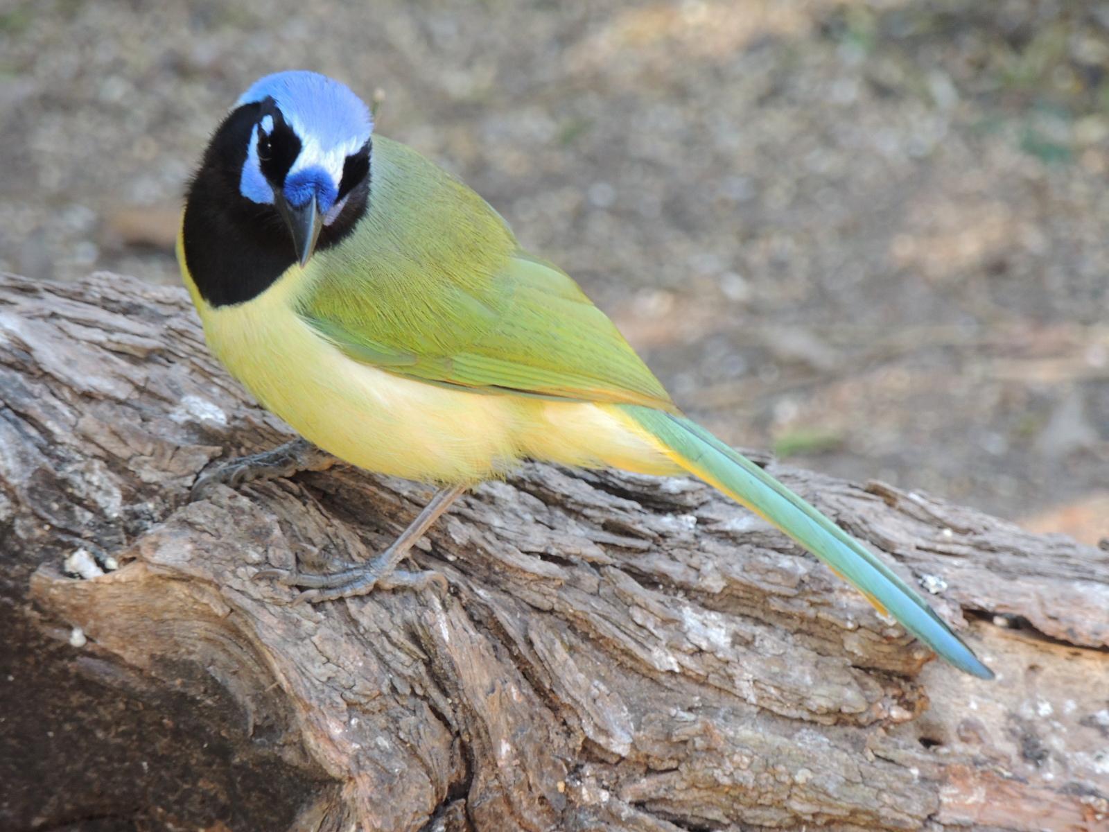 Green Jay Photo by Tony Heindel