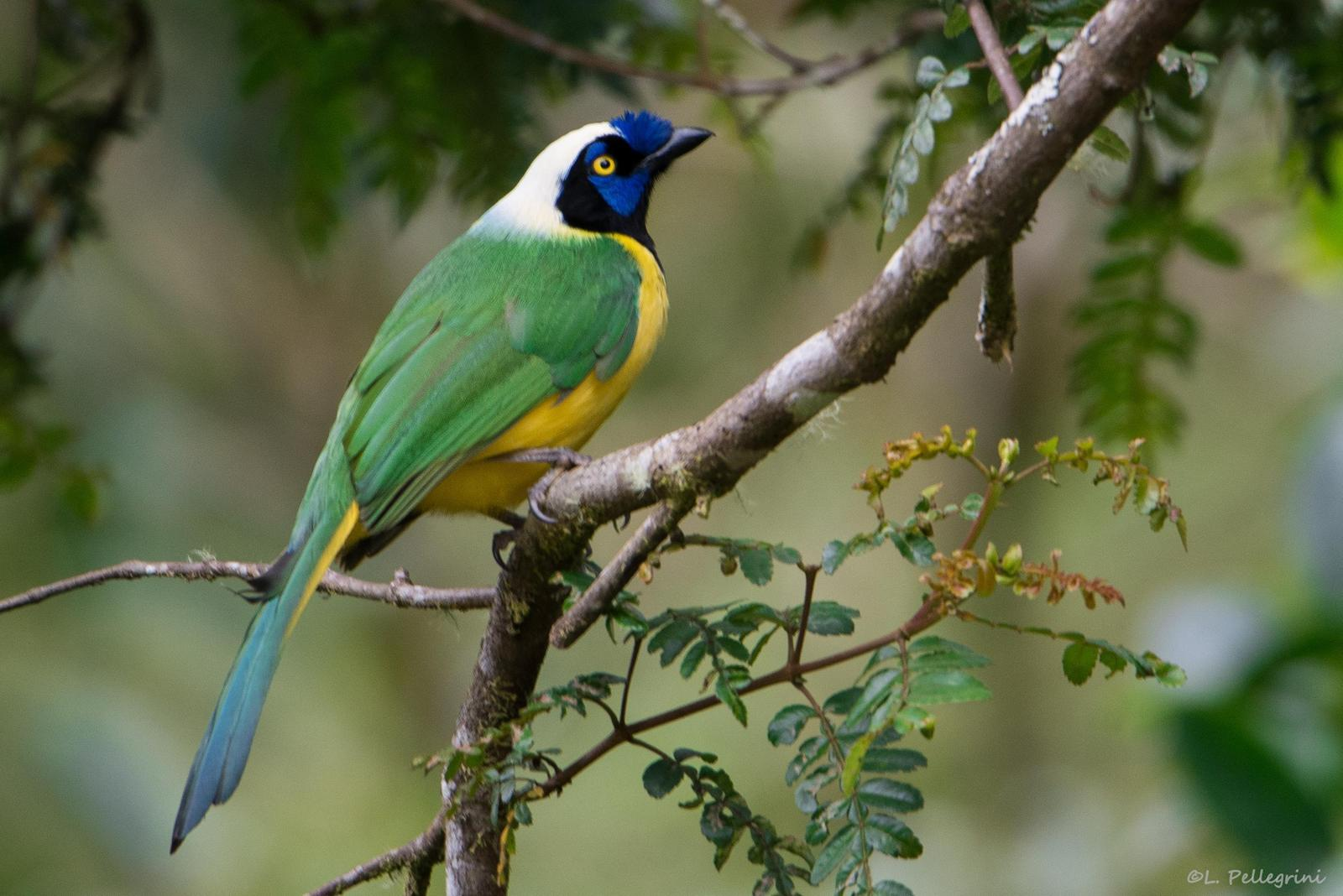 Green Jay (Inca) Photo by Laurence Pellegrini