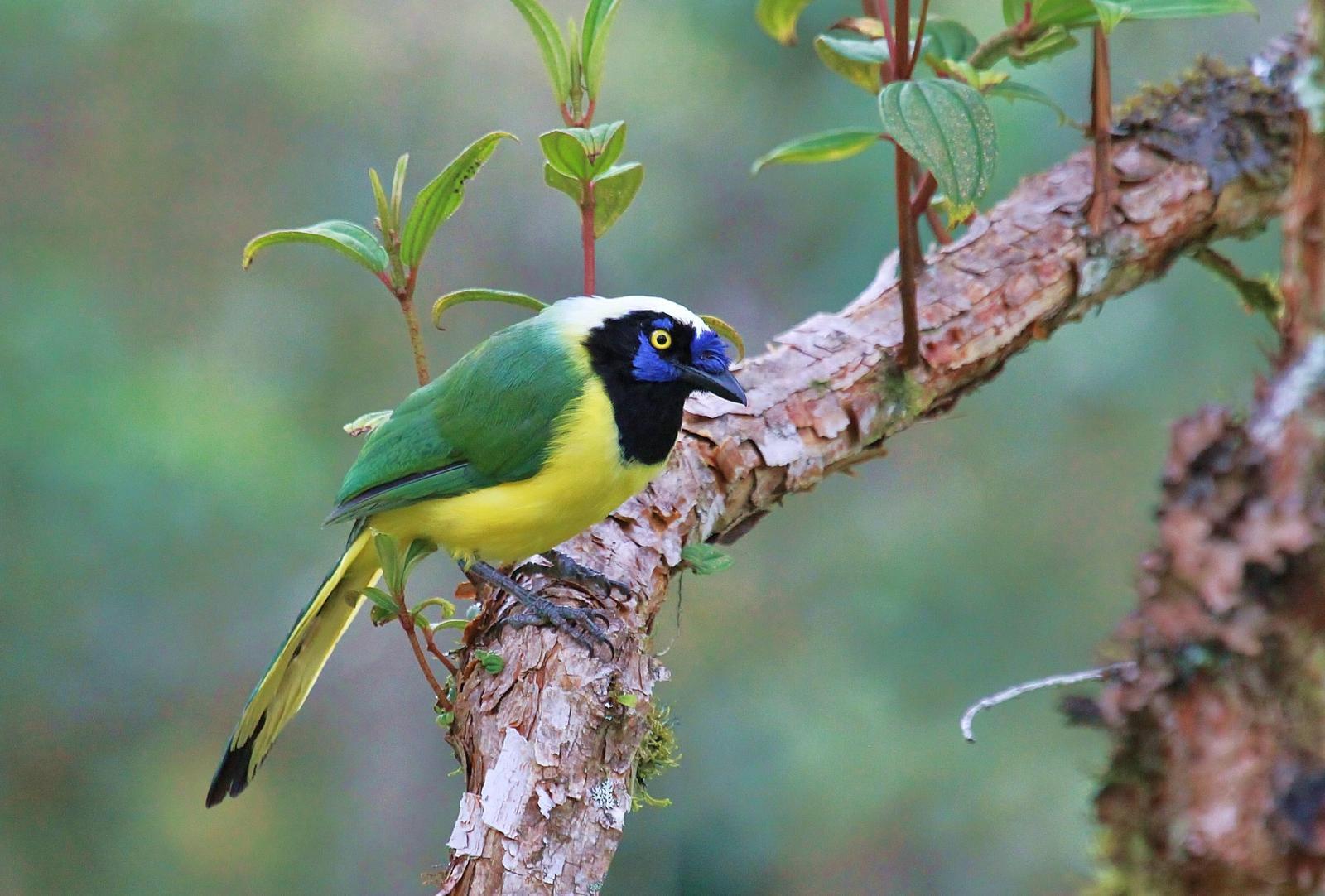 Green Jay (Inca) Photo by Matthew McCluskey