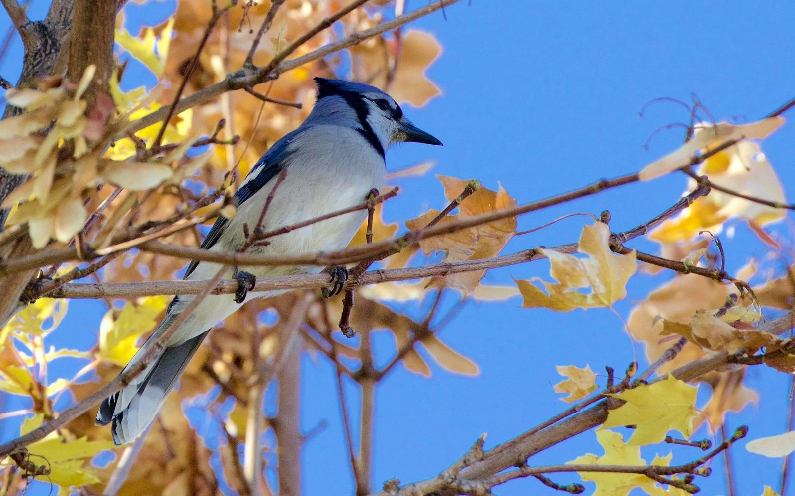 Blue Jay Photo by Kathryn Keith