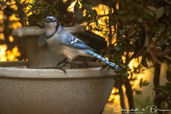 Blue Jay Photo by Donald Brown