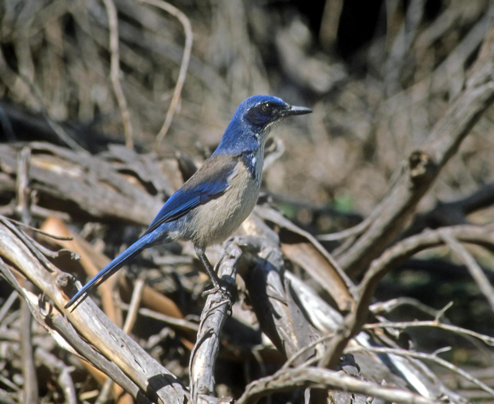 Island Scrub-Jay Photo by Steven Mlodinow
